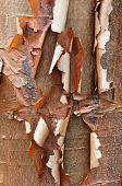 stock photo of maple tree  - Bark detail of the Paperbark Maple tree Acer griseum - JPG