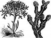 stock photo of irish moss  - Chondrus crispus irish moss or Fucus vesiculosus bladderwrack engraving old antique illustration of different algaes - JPG