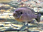 stock photo of bluegill  - close up of sunfish in aquarium tank - JPG