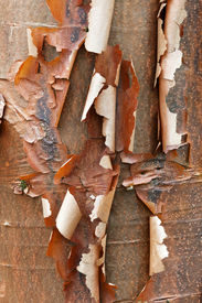 picture of maple tree  - Bark detail of the Paperbark Maple tree Acer griseum - JPG