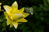 Easter Lily, Longflower Lily, Closeup Of Yellow Lily Flower In Full Bloom.beautiful Yellow Hemerocal poster
