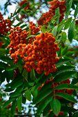 Ripe Rowan Berries And Leaves Close-up. Rowan Tree, Close-up Of Bright Rowan Berries On A Tree On A  poster