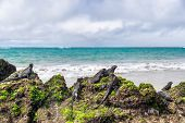 Galapagos islands wildlife endemic animals of Isabela island in Puerto Villamil. Marine iguanas rela poster