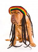 lustige Hund in Rastafari Hut mit dreadlocks
