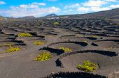La Geria - vineyard region of Lanzarote, Canary Islands, grape vines grow in small walled craters in
