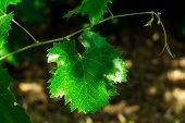 Leaf Of Grapes. Collection. Total Depth Of Field. A Leaf On A Branch With Branches. A Branch Of A Vi poster