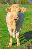 pic of charolais  - Beige cow standing in a field - JPG