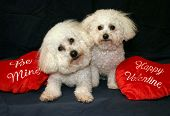 Beau and Fifi Danger both Bichon Frise's sit with their