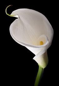 stock photo of single flower  - White calla with elegant curves isolated on black - JPG