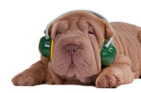 stock photo of funny animals  - Sharpei puppy is listening to music on headphones isolated on white background - JPG