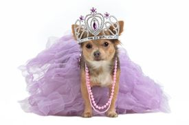 picture of pompous  - Royal dog with crown isolated - JPG