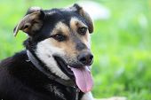 picture of mutts  - mongrel, mutt, no breed dog portrait with tongue out