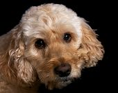 stock photo of cockapoo  - a portrait shot of a spoodle a cross between a spaniel and poodle - JPG