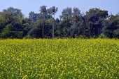 foto of mustering  - Mustered fresh green field at Khajuraho MP Central India - JPG