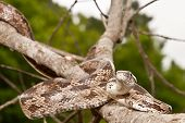 image of harmless snakes  - A Gray Ratsnake climbing in a tree.