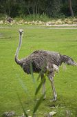 picture of ostrich plumage  - A Beautifully Distinctive Female Ostrich Amidst Greenery - JPG