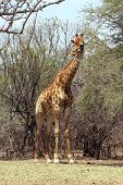 Strong Bodied Giraffe Standing Next To Trees