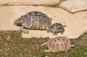 stock photo of testudo  - Testudo graeca graeca  is a mediterranean tortoise in catalonia - JPG