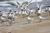 stock photo of tern  - flock of Royal Terns on a beach