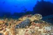 stock photo of hawksbill turtle  - Hawksbill Sea Turtle and scuba divers - JPG