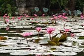 pic of lilly  - Red lilly water flower at Suoi Yen, Chua Huong, Hanoi, Vietnam