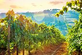 picture of farm landscape  - Beautiful grape field valley in mild sunset light - JPG