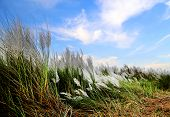 picture of kan  - Saccharum spontaneum or Kans grass locally known as the Kash flower in Bangladesh - JPG