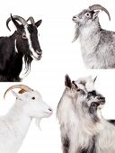 foto of saanen  - Group of goats isolated on the white background - JPG