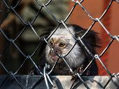 foto of marmosets  - A visit to the zoo in town and a little marmoset monkey waiting for food - JPG