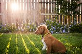 pic of golden retriever puppy  - A beautiful Nova Scotia Duck Tolling Retreiver puppy candidly sunbathing under the Texas sunset - JPG