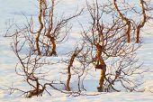 stock photo of arctic landscape  - The Arctic landscape of dwarfish trees against snow - JPG