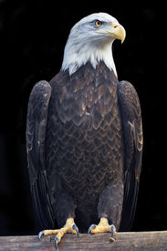stock photo of fish-eagle  - A full length portrait of a bald eagle haliaeetus leucocephalus isolated on black background - JPG