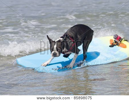Surfing Boston Terrier