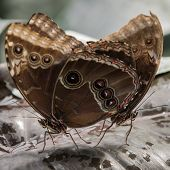 picture of mating animal  - Close up of Common Blue Morpho Butterflies Mating - JPG