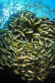 foto of bigeye  - Bigeye Snapper fish - JPG
