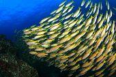 stock photo of bigeye  - Bigeye Snapper fish - JPG