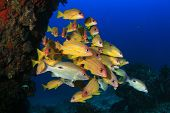 picture of red snapper  - Snapper fish - JPG