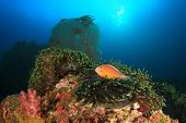 picture of skunk  - Skunk Anemonefish on underwater coral reef - JPG