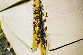 stock photo of ant  - Ant nest infestation in wooden structure between planks - JPG