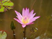 picture of species  - The Pink Lotus species of beautiful flower  in Thailand - JPG