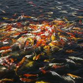 image of koi fish  - beautiful koi fish swimming in the pond Colorful Koi - JPG