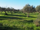 pic of kalamata olives  - Olive trees under bright sunlight in the IstriaCroatia - JPG