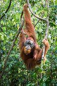 pic of orangutan  - Adult orangutan hanging from trees in the jungle - JPG