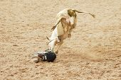 foto of brahma-bull  - A bull rider in a dangerous position on the ground - JPG
