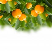 image of tangerine-tree  - Tangerine tree branch  border on white background - JPG