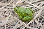 image of pet frog  - green river frog sitting on a dry grass - JPG