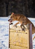 foto of american staffordshire terrier  - Dog breed American Pit Bull Terrier jumps over hurdle - JPG