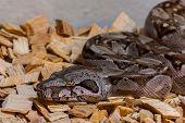 stock photo of snake-head  - Closeup on the head of a small boa snake - JPG