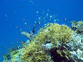 picture of fire coral  - colorful coral reef at the bottom of tropical sea with great soft coral and exotic fishes on a background of blue water underwater - JPG