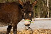 pic of donkey  - The donkey on a farmstead eats a grass - JPG